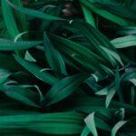 Olijfboom kopen voor in de tuin